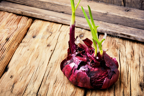 color onion seedling - Stock Photo - Images