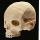 Human Skull - 3DOcean Item for Sale