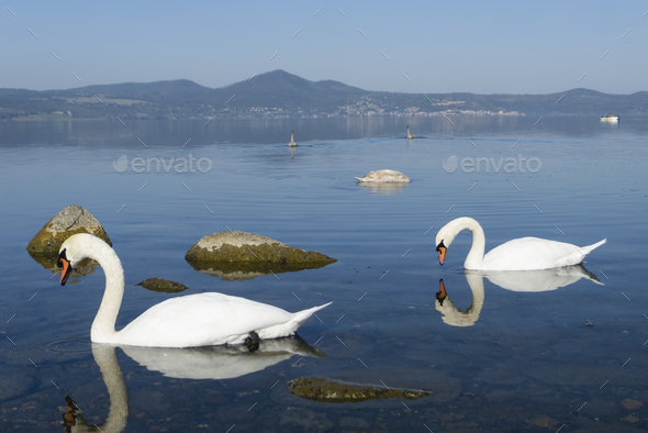 Family of swans swimming on a  lake - Stock Photo - Images