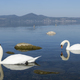Family of swans swimming on a  lake - PhotoDune Item for Sale
