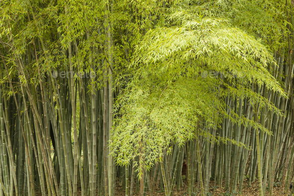 Detail of bamboo forest - Stock Photo - Images