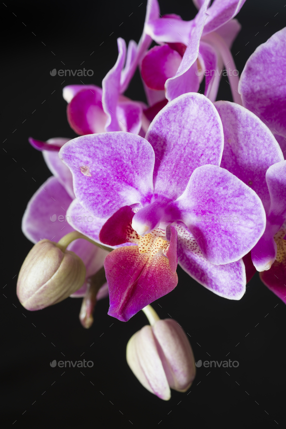 Phanaelopsis orchid flowers - Stock Photo - Images
