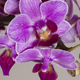 Phanaelopsis orchid flowers - PhotoDune Item for Sale
