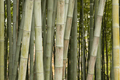 Detail of bamboo forest - PhotoDune Item for Sale