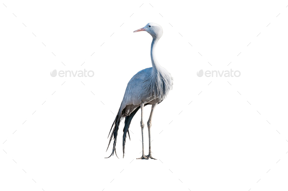 Standing Blue Crane isolated on white - Stock Photo - Images