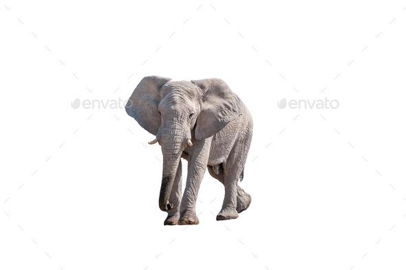 African elephant, isolated on white - Stock Photo - Images
