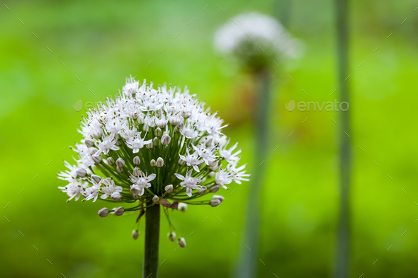 onion flower closeup - Stock Photo - Images