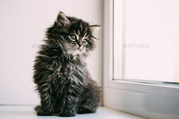 Funny Gray Small Domestic Cat Kitten Sitting On A White Window S - Stock Photo - Images