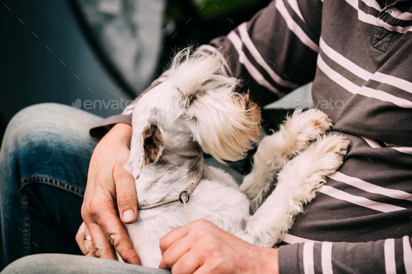 Small Miniature Schnauzer Dog Zwergschnauzer Sitting In Hands Of - Stock Photo - Images