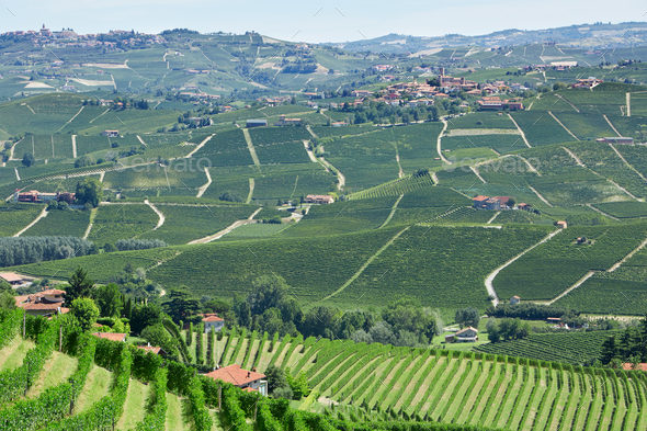 Green vineyards and green Langhe hills in Piedmont, Italy - Stock Photo - Images