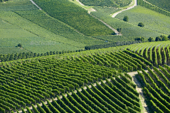 Vineyards green background in a sunny day on hills - Stock Photo - Images