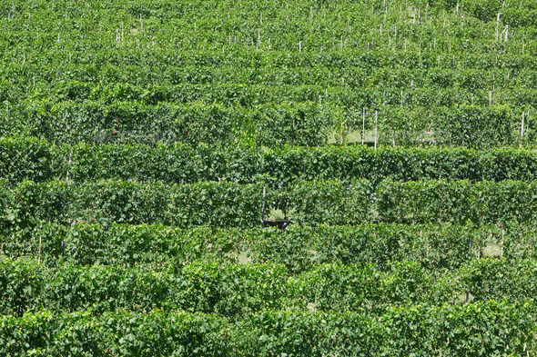 Vineyards, green pattern background in a sunny day - Stock Photo - Images