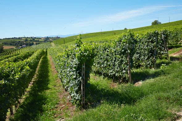 Green vineyards on hill, blue sky - Stock Photo - Images