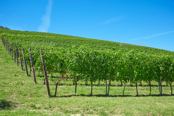 Vineyards in a sunny day in Italy - Stock Photo - Images