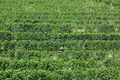 Vineyards, green pattern background in a sunny day - PhotoDune Item for Sale