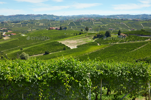 Green vineyards in a sunny day in Piedmont, Italy - Stock Photo - Images