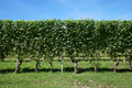 Green vineyard, vine hedge in a sunny day, blue sky - PhotoDune Item for Sale