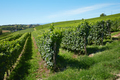 Green vineyards on hill, blue sky - PhotoDune Item for Sale
