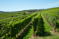 Green vineyards in a sunny day, blue sky - PhotoDune Item for Sale
