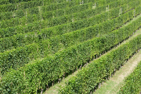 Green vineyards in a sunny day, high angle view - Stock Photo - Images