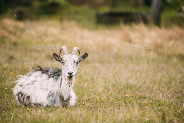 Goat Sitting In Spring Grass In Village. Farm Animal - Stock Photo - Images