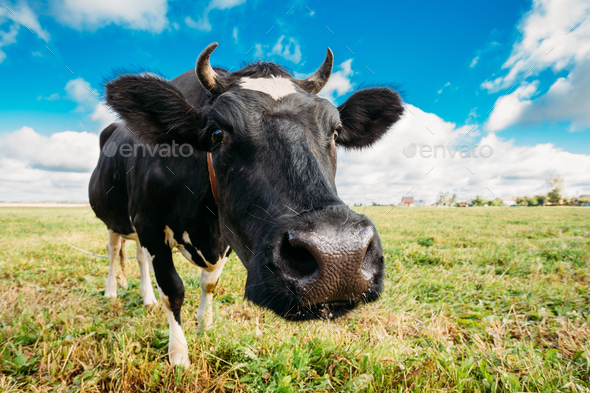 Close Up Of Cow In Meadow Or Field With Green Grass In Mouth. Co - Stock Photo - Images