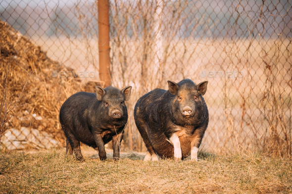 Two Pigs Posing In Farm Yard. Pig Farming Is Raising And Breedin - Stock Photo - Images