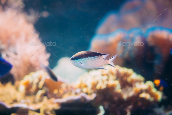 Chromis Viridis Or Green Chromis Is Species Of Damselfish Swimmi - Stock Photo - Images