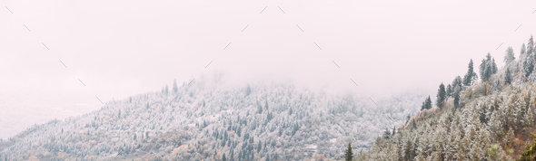 Pines And Spruce, Fir-trees Covered First Snow In Greenwood Fore - Stock Photo - Images