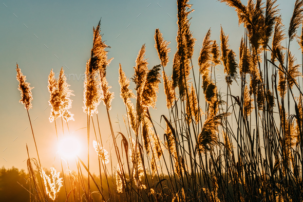 Dry Grass In Sunset Sunlight. Beautiful Plant On Sunrise Sky Bac - Stock Photo - Images