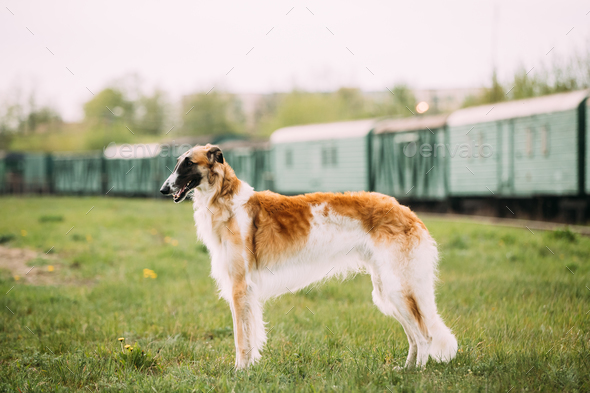 Russian Dog, Borzoi Gazehound Posing Outdoor - Stock Photo - Images