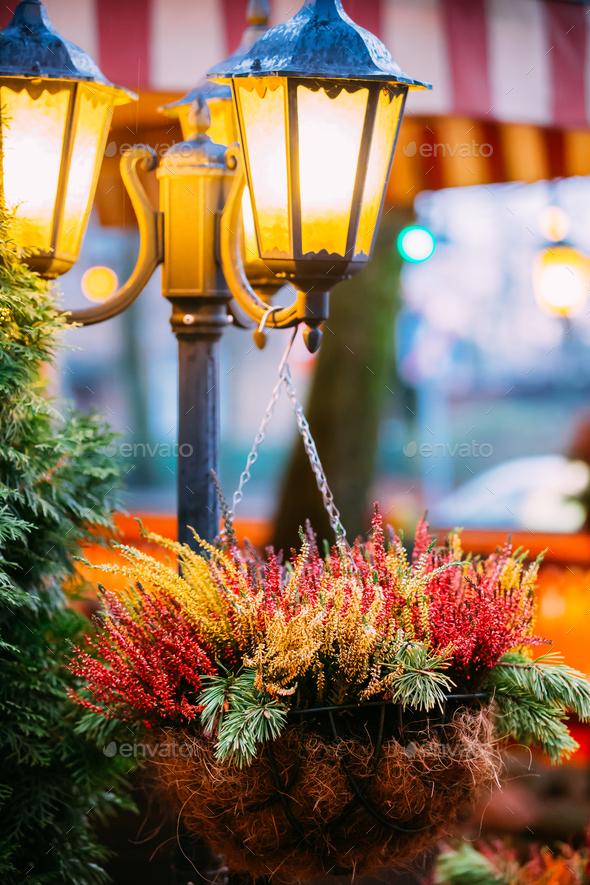Bush Of Colorful Calluna Plants In Hanging Pots Under Decorative - Stock Photo - Images