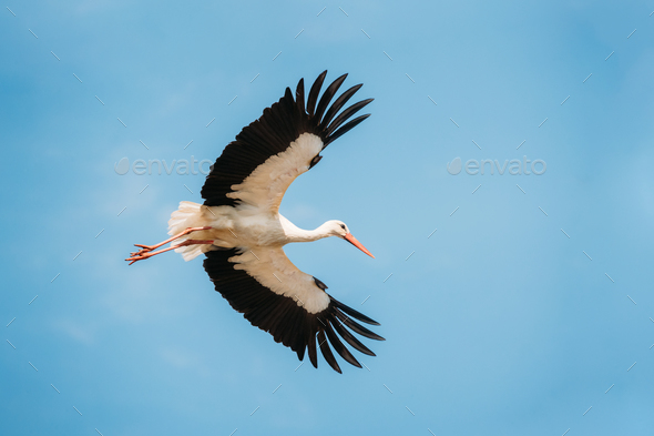 Adult European White Stork Flies In Blue Sky With Its Wings Spre - Stock Photo - Images