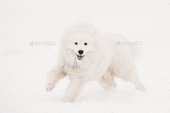 Funny Young White Samoyed Dog Or Bjelkier, Smiley, Sammy Playing - Stock Photo - Images