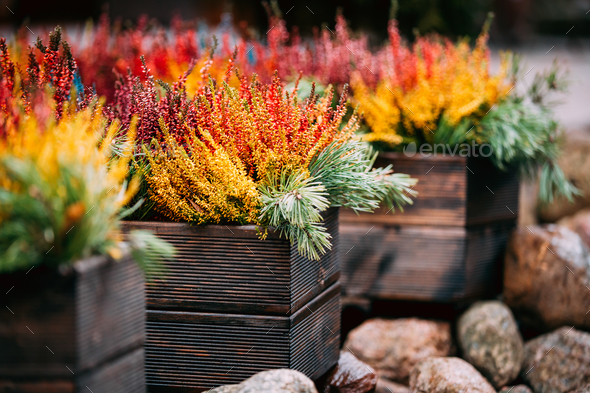 Bush Of Colorful Calluna Plants In Pots In Garden - Stock Photo - Images