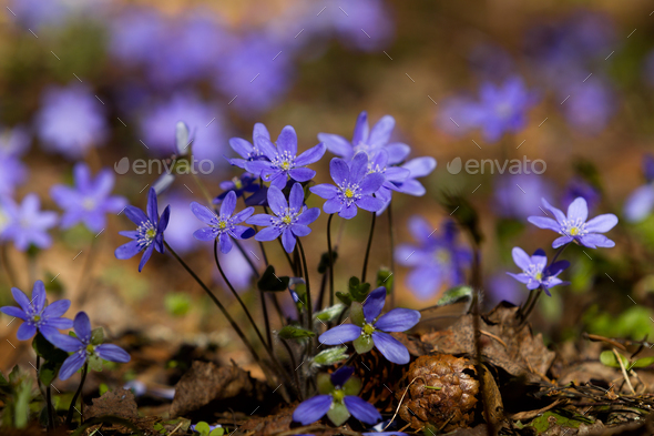 Flowers of violets in the spring forest - Stock Photo - Images