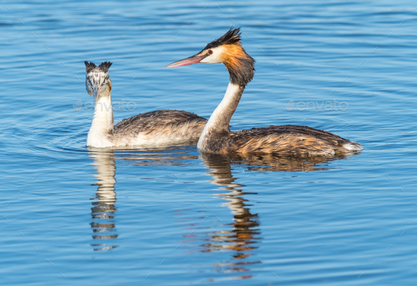 Great Crested Grebe With Young - Stock Photo - Images