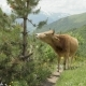 Cow Eats Needle of Spruce in the Mountains, Caucasus, Georgia - VideoHive Item for Sale