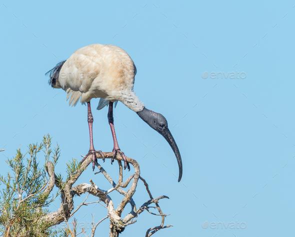 Australian White Ibis - Stock Photo - Images