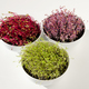 Beetroot, red cabbage, carrot microgreens in bowls from above - PhotoDune Item for Sale