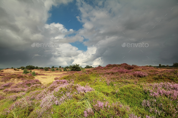 sunshine over hills with flowering heather - Stock Photo - Images