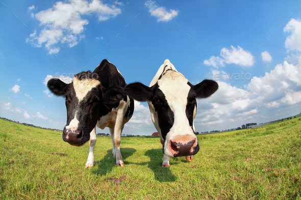 two funny cows on pasture - Stock Photo - Images