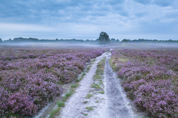 road between pink flowering meadows with heather - Stock Photo - Images