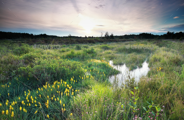 morning on swamp with flowering asphodel - Stock Photo - Images