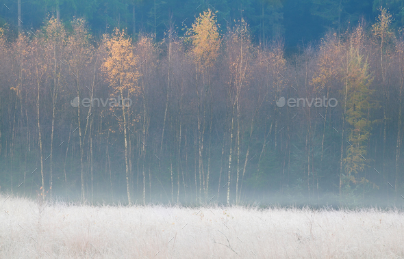yellow birth trees during frosty autumn morning - Stock Photo - Images