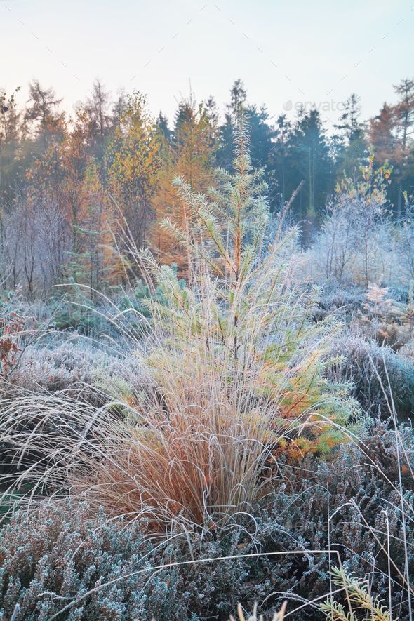 frosted grass and larch in forest - Stock Photo - Images