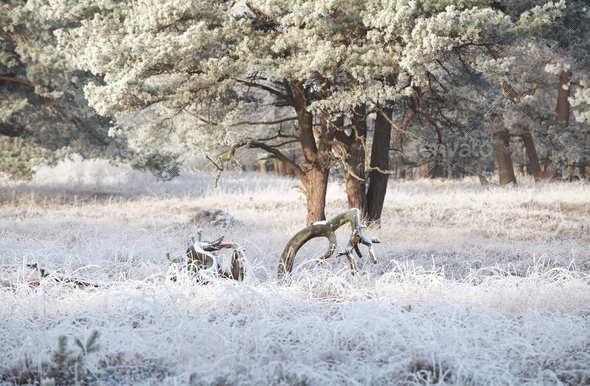 morning in pine forest covered with frost - Stock Photo - Images