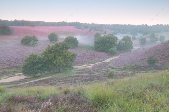 pink flowering hills in summer morning - Stock Photo - Images