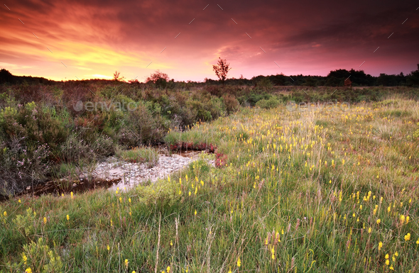 purple sunrise over moorland with asphodel - Stock Photo - Images