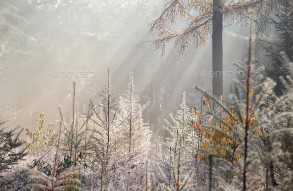 sunbeams in foggy autumn forest - Stock Photo - Images